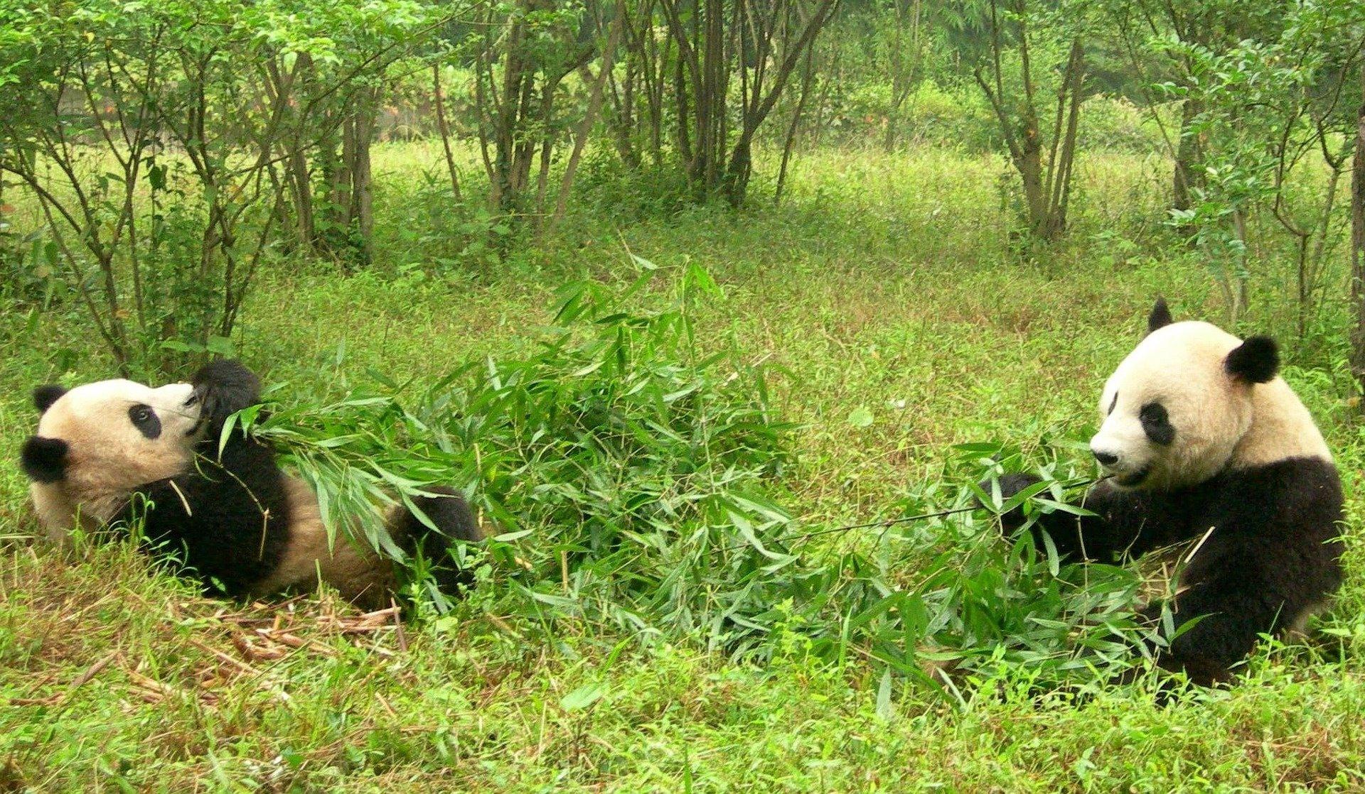 2 pandas eating 6 - pixabay.com:de:photos:pandas-zwei-pandas-china-sichuan-1347184:.jpg